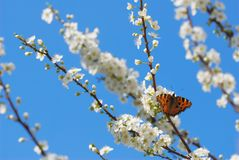 Spring time. Nymphalis sp butterfly on spring flower branches royalty free stock photo