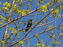 Starling bird on a maple branch in spring. stock image