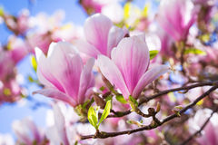 Spring time. Beautiful blossoming magnolia tree in the spring time Stock Photos