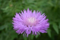 Spring time beautiful pink flower of cornflower on a green background royalty free stock photo