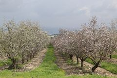 Almonds Field. Spring time, beautiful view of an almonds Stock Images