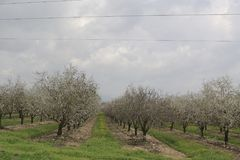 Almonds Field. Spring time, beautiful view of an almonds Royalty Free Stock Image