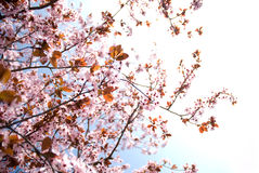 Spring time beauty. Sunlit branches of rosy flowers in the earliest springtime royalty free stock photo