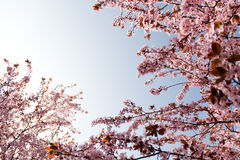 Spring time beauty. Branches of rosy flowers in the earliest springtime royalty free stock photos