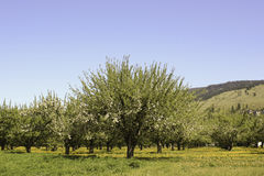 Spring time Bloom. The apple orchards of the Okanagan Valley Royalty Free Stock Photos
