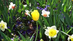 Spring Time Bloom. Spring time flowers in the windy park stock footage