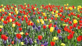 Spring Time Bloom. Tulips in bloom in the early Spring stock footage