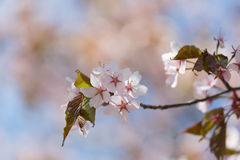 Spring time, blooming of cherry tree Royalty Free Stock Image