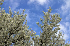 Spring Time Blooming Flowering Trees Stock Photo