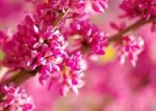 Spring time. Blooming pink branches. Macro, blur effect and selective focus.  stock images