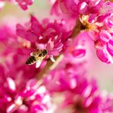 Spring time. Blooming pink branches. Macro, blur effect and selective focus.  royalty free stock photo