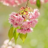 Spring time. Blooming pink branches. Macro, blur effect and selective focus.  stock photos