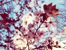 Spring time blossom tree. A blossom tree after a rain shower Stock Photos
