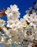 Spring time blossom Stock Photography