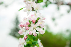 Spring time blossomed white tree branch Stock Photo