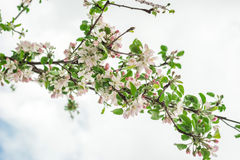 Spring time blossomed white tree flowers Royalty Free Stock Photo