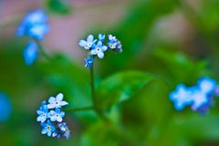 Spring time blue colorful flower blooming forget me not. Santa Cruz California mountain Orchard in Spring time flower blooming forget me not stock photo