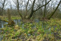 Spring time on bog in forest. Spring landscape with bog in forest royalty free stock photography
