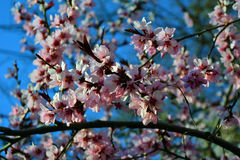Spring time. Cherry blooms on a tree Stock Images