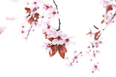 Spring Time Cherry Blossoms Stock Photos