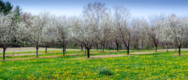 Spring time cherry orchard panorama Stock Photography