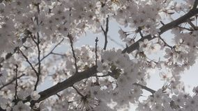 Spring time with close up cherry blossom tree stock video