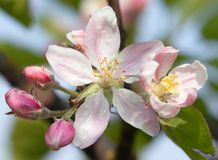 Spring time detail of flower of apple tree royalty free stock image