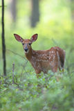 Spring Time Fawn Royalty Free Stock Image