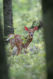 Spring Time Fawn Stock Photography