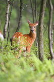 Spring Time Fawn. Young whitetail fawn in spring time Royalty Free Stock Photography