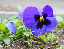 First tricolor viola flower Stock Image