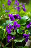 Spring time: first tricolor violas Royalty Free Stock Photography