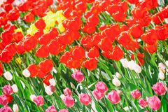 Spring time floral field background with beautiful red pink yellow white flower tulips in sunlight. Shallow depth Royalty Free Stock Photo