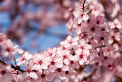 Spring time flowers. Close up of rosy flowers in the earliest springtime royalty free stock photography