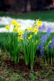 Spring time flowers bed. With narcissus and muscari stock image
