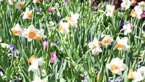 Spring Time Bloom. Spring time flowers in the windy park stock video footage