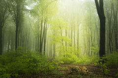 Spring time in fogy forest. Morning in green forest at spring time. Nature green wood sunlight backgrounds Royalty Free Stock Images