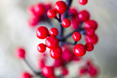 Red berries in its natural habitat. Royalty Free Stock Photo