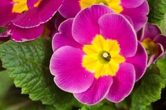 Spring Time,Fresh,Wet purple Primrose Stock Image