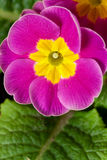 Spring Time,Fresh,Wet purple Primrose Royalty Free Stock Photo