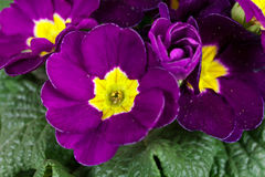 Spring Time,Fresh,Wet purple Primrose Stock Photography
