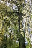 A large willow tree with crooked branches. Spring time in the garden, everything around is green, in the foreground to the right is a blossoming apple tree royalty free stock photography