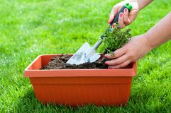 Spring time - gardening. Female hands with garden shovel ang flower Royalty Free Stock Photos