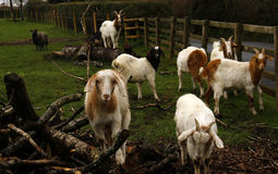 Spring time Goats playing Stock Photography