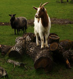 Spring time Goats playing Royalty Free Stock Photos