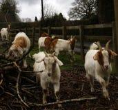 Spring time Goats playing Stock Photos