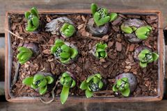 Spring time growing hyacinth bulbs in wooden flowerpot. Horizontal. Top view royalty free stock photo