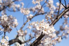 Spring time in japan. Kachidoki, Tokyo, Japan, 04/06/2019 , Cherry trees flowers on the riverside in front of Harumi triton square royalty free stock photos