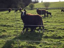 Spring time lambing stock photography