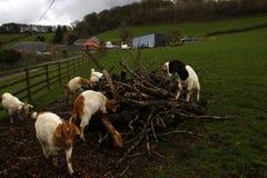 Spring time Lambs playing Stock Photos